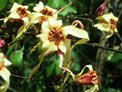 Strophanthus -Cameroon Forest Flower